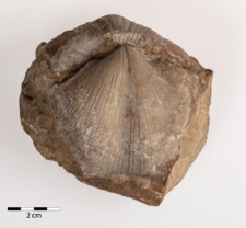 Neospirifer striatus Martin 1809