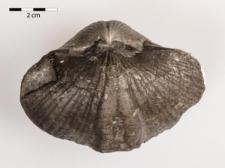 Spirifer rontundatus