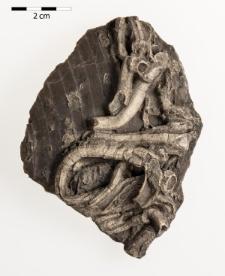Ostreidina - epibiont na Pecten cinctus Sow.(Pecten crassitesta Roemer A.)