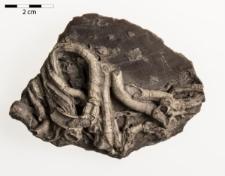 Serpula antiquata Sow. - epibiont na Pecten cinctus Sow.(Pecten crassitesta Roemer A.)