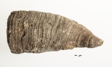 Hippuritella lapeirousei Goldfuss 1840