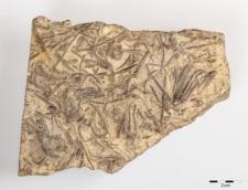 Dadocrinus gracilis