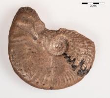 Harpoceras (Lioceras) opalinum Rein.