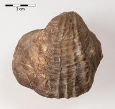 Pholadomya sp. Soweby 1823
