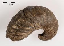 Gryphaea arcuata Lamarck 1801