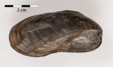 Modiola cuneata Sowerby