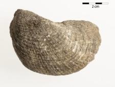 Pholadomya puschi Goldfuss 1840