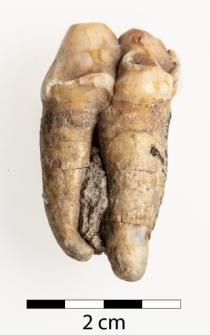Ursus spelaeus Rosenmüller 1794
