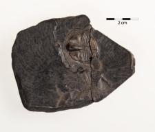 Trinucleus ornatus
